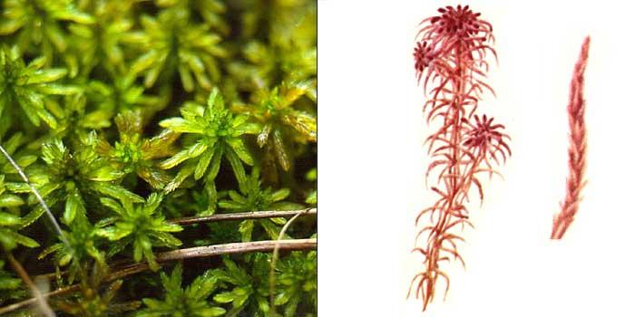 Сфагн, или сфагнум дубравный, или остролистный — Sphagnum nemoreum