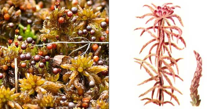 Сфагн, или сфагнум магелланский, или средний — Sphagnum magellanicum