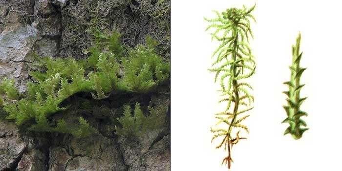 Сфагн, или сфагнум оттопыренный — Sphagnum squarrosum