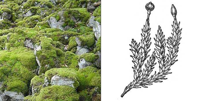 Андреэя наскальная — Аndreaea rupestris