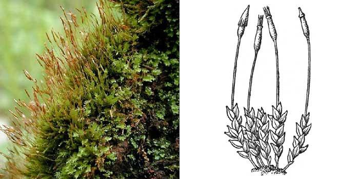 Тетрафис прозрачный — Тetrephis pellucida