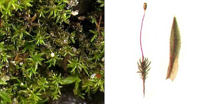 Погонат, или погонатум алоэвидный — Pogonatum aloides