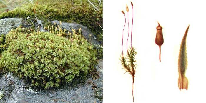 Погонат, или погонатум урновидный — Pogonatum urnigerum