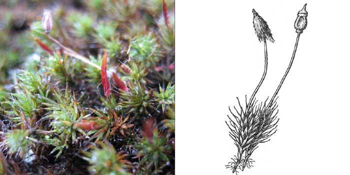 Политрих, или политрихум волосконосный — Polytrichum piliferum