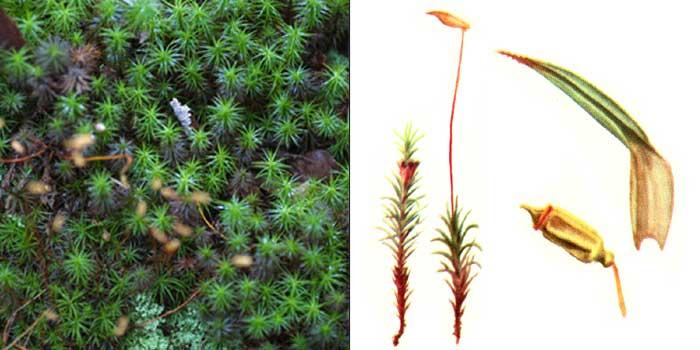 Политрих, или политрихум можжевельниковый — Polytrichum juniperinum