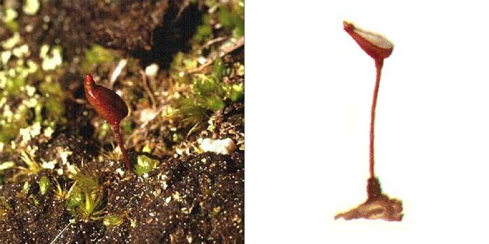 Буксбаумия безлистная, или обыкновенная — Вuxbaumia aphylla