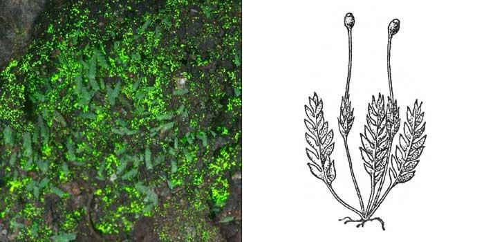 Схистостега перистая, или «светящийся мох» — Schistostega pennata