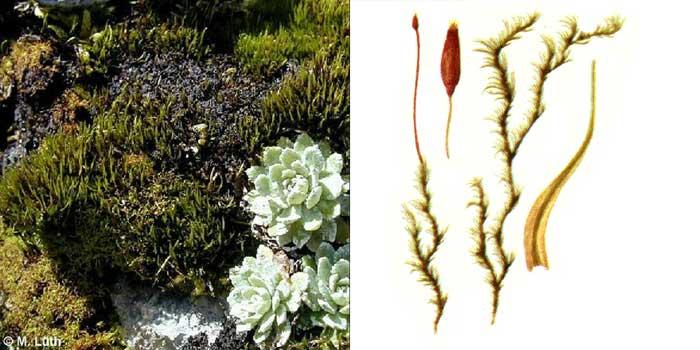 Дитрих, или дитрихум кривостебельный — Ditrichum flexicaule