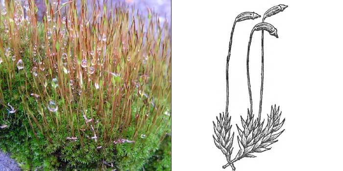 Цератодон пурпурный — Сeratodon purpureus