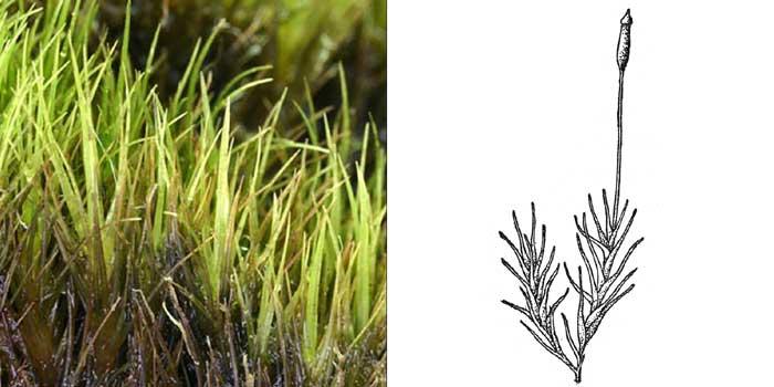 Дистихий, или дистихиум волосовидный — Distichium capillaceum