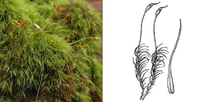 Дикранелла разностороннелистная — Dicranella heteromalla