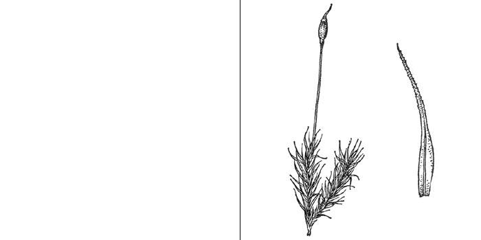 Ортодикран, или ортодикранум горный — Оrthodicranum montanum