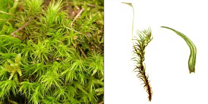 Дикран, или дикранум метловидный, или метелковидный — Dicranum scoparium