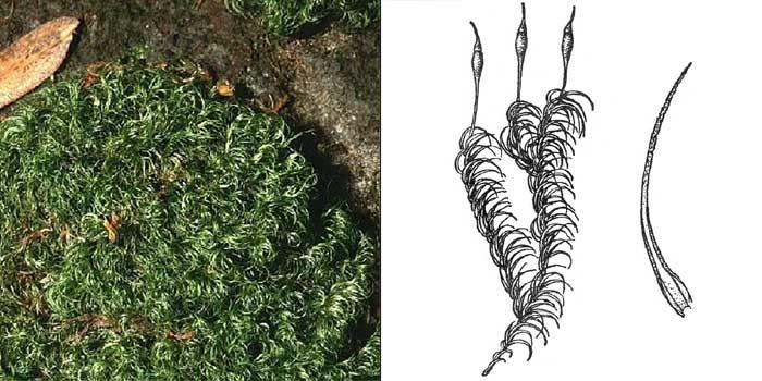 Паралеукобрий, или паралеукобриум длиннолистный — Paraleucobryum longifolium