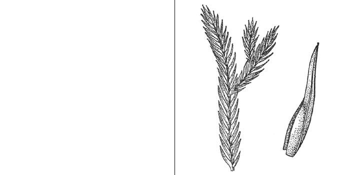 Фиссиденс крупнолиственный — Fissidens grandijrons