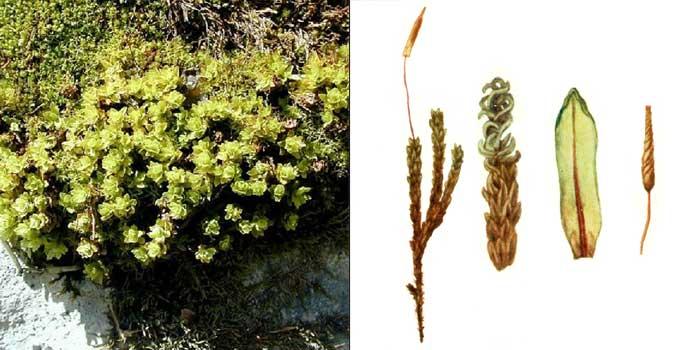 Энкалипта завитоплодная, или скрученная — Encalypta streptocarpa