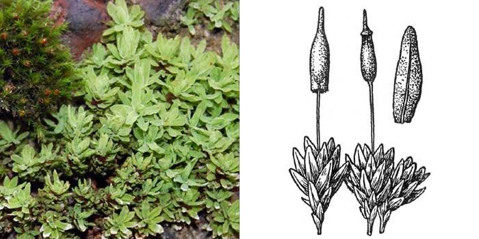 Энкалипта обыкновенная — Encalypta vulgaris