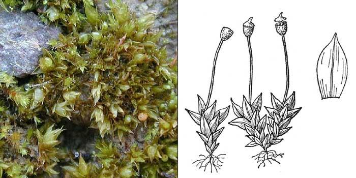Поттия усеченная — Pottia truncata
