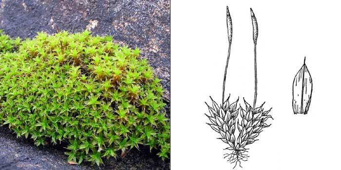 Тортула шиловидная — Тortula subulata