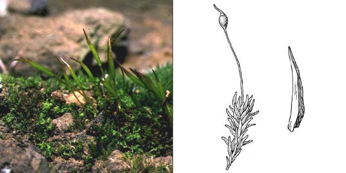 Гимностом, или гимностомум сине-зеленый — Gymnostomum aeruginosum