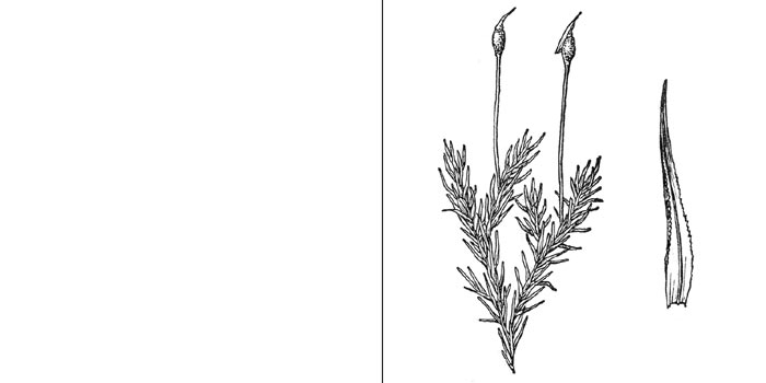 Эукладий, или эукладиум мутовчатый — Еucladium verticillatum