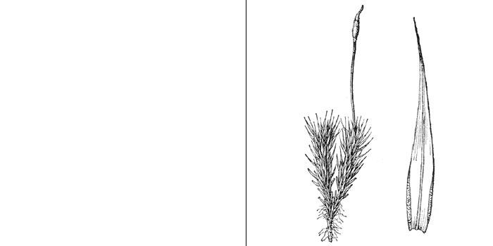 Тортелла ломкая — Тortella fragilis
