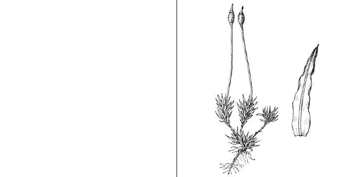 Трихостом, или трихостомум кудреватый — Тrichostomum crispulum
