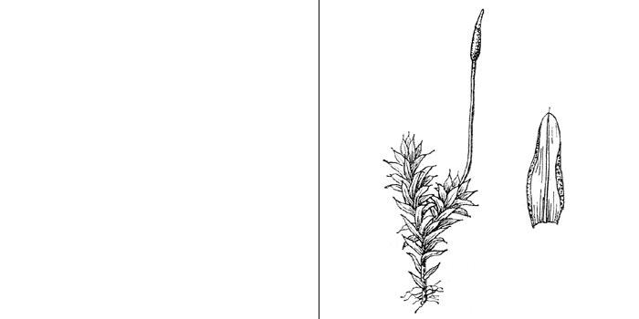 Барбула полудюймовая — Вarbula unguiculata