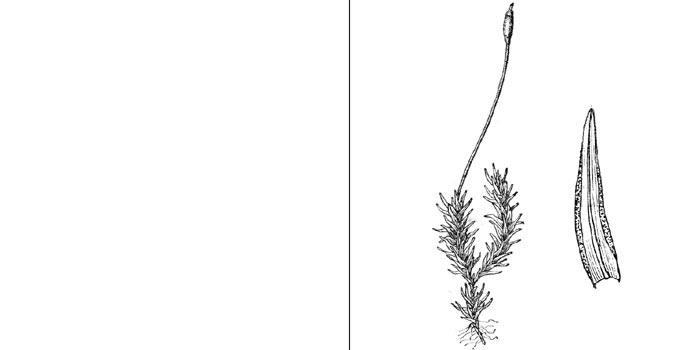 Бриоэритрофилл, или бриоэритрофиллум косоклювый — Вryoerythrophyllum recurvirostre