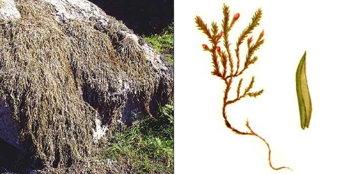 Цинклидот, или цинклидотус фонтиналевидный — Сinclidotus fontinaloides