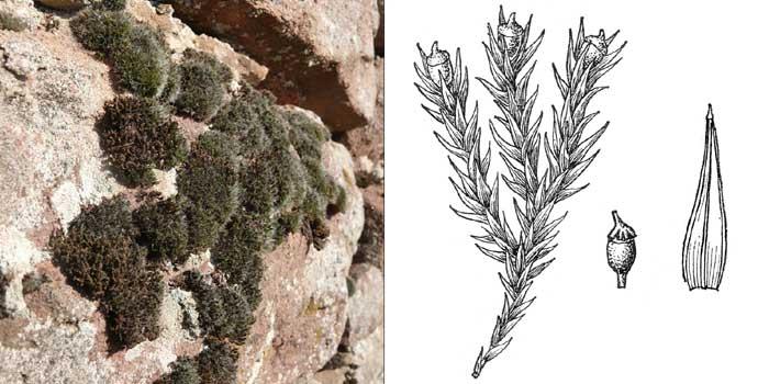 Схистидий, или схистидиум скрытоплодный — Schistidium apocarpum