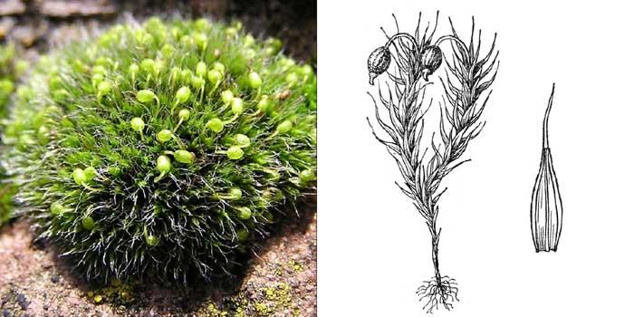 Гриммия подушковидная — Grimmia pulvinata