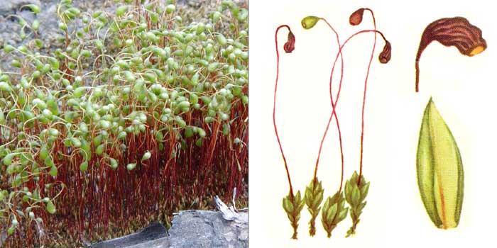 Фунария гигрометрическая — Funaria hygrometrica