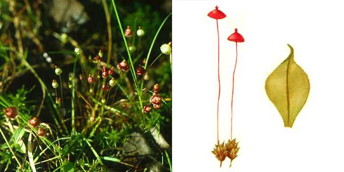 Сплахн, или сплахнум красный — Splachnum rubrum
