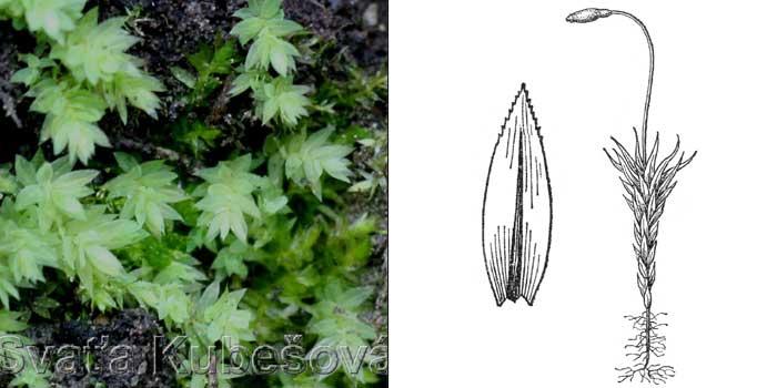 Полия сизая — Pohlia cruda