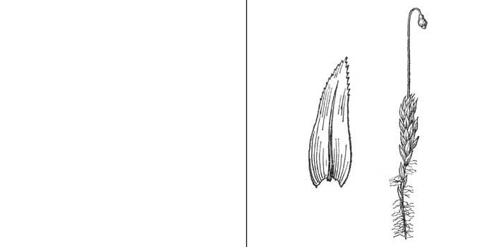 Мниобрий, или мниобриум Валенберга, или беловатый — Мniobryum wahlenbergii