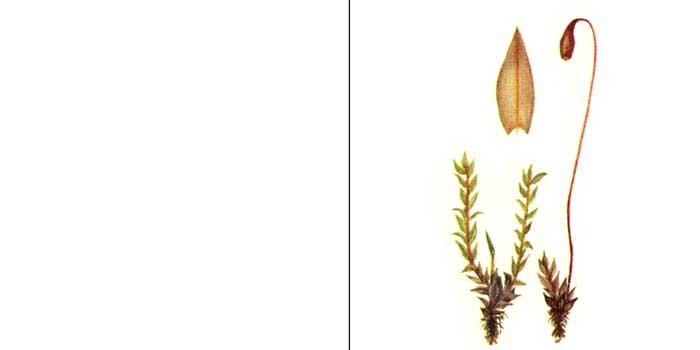 Брий, или бриум бледный — Вryum pollens