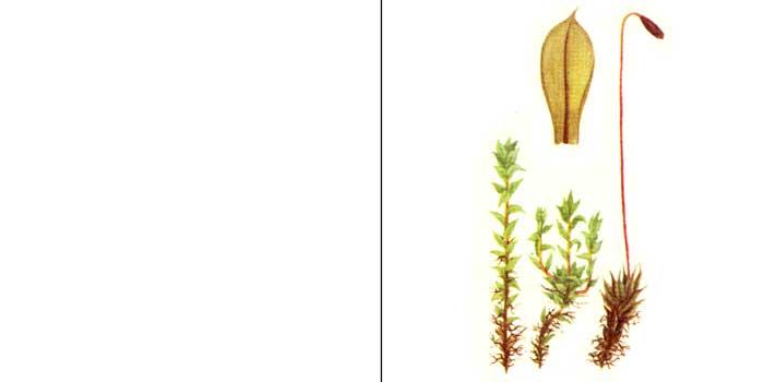Брий, или бриум волосовидный — Вryum capillare