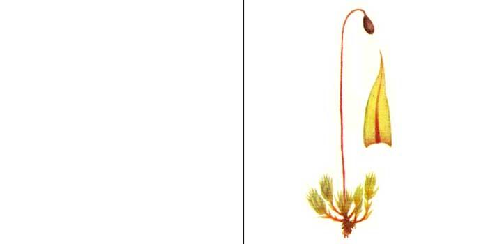 Брий, или бриум дернистый — Вryum caespiticum
