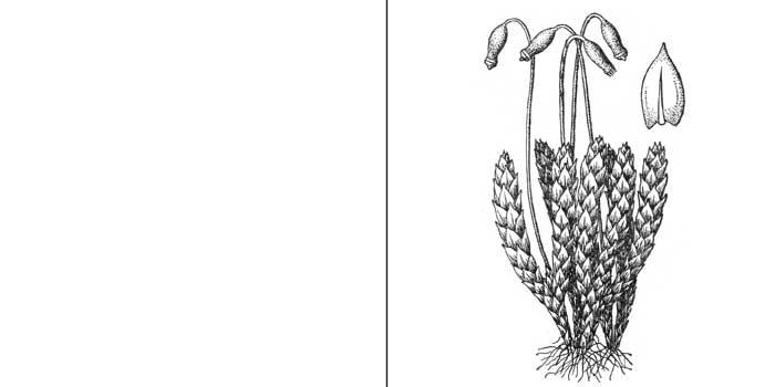 Брий, или бриум серебристый — Вryum argenteum