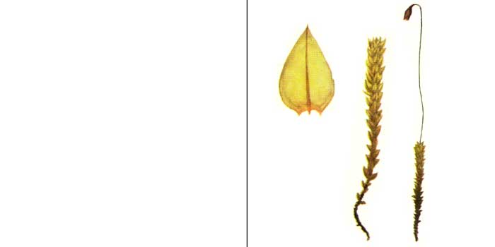 Брий, или бриум кубаревидный — Вryum turbinatum