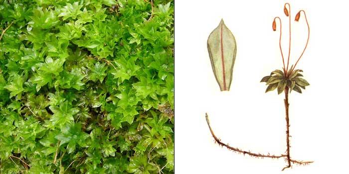 Родобрий, или родобриум розетковидный — Rhodobryum roseum