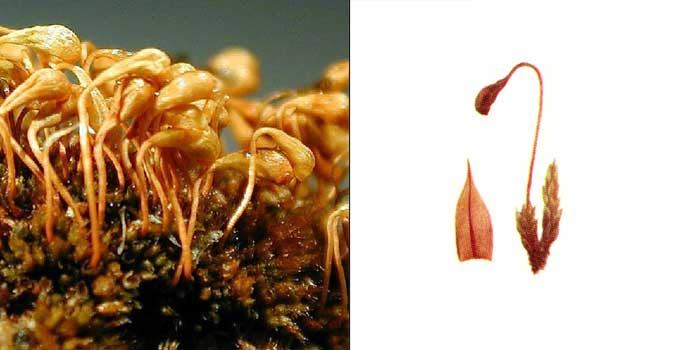 Плагиобрий, или плагиобриум опущенный — Plagiobryum demissum