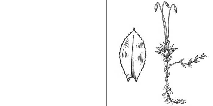 Мний, или мниум средний — Mnium medium