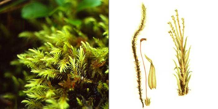 Аулакомний, или аулакомниум болотный — Aulacomnium palustre