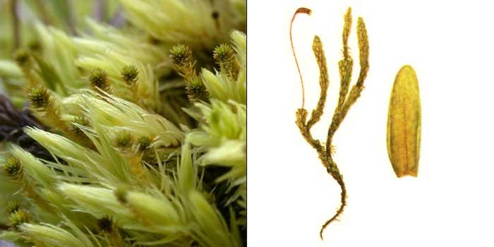 Аулакомний, или аулакомниум вздутый — Aulacomnium turgidum