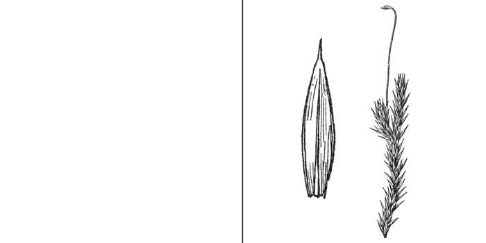 Аулакомний, или аулакомниум заостренный — Aulacomnium acuminatum