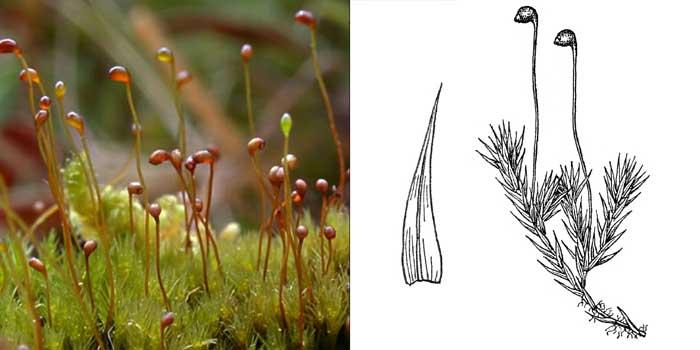 Катаскопий, или катаскопиум чернеющий — Catascopium nigritum