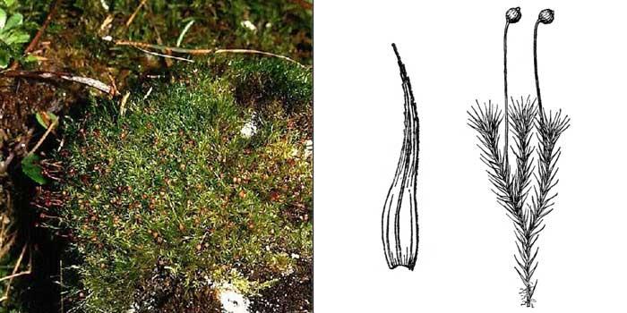 Плагиопус Эдера —Plagiopus oederi