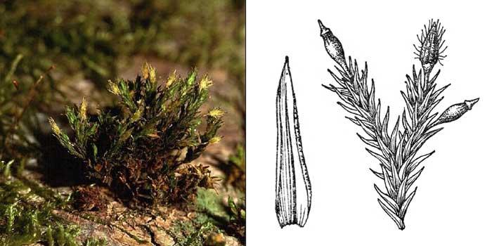 Ортотрих, или оротрихум прекрасный — Orthotriehum speciosum